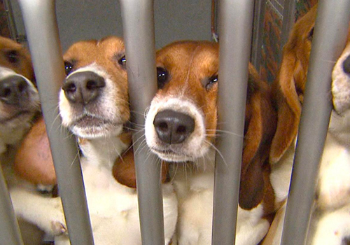 Beagles in Lab